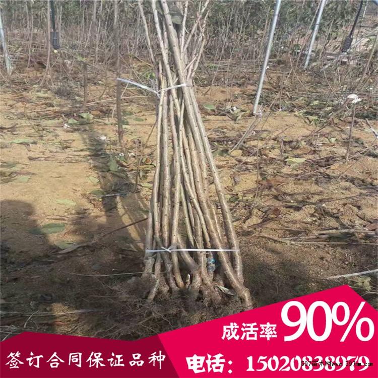白玉樱桃树苗多少钱一棵白玉樱桃树苗价格