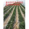 草莓苗价格0.25元/株  哪家草莓苗最优质便宜