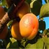 2公分杏树苗供应  嫁接杏树苗品种  金太阳杏树苗批发热卖