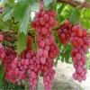 供应葡萄苗 适合南方种植葡萄苗品种