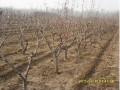 山东处理5--8公分桃树.