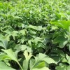 银杏树批发直销 当年银杏树小苗供应  银杏树种植基地