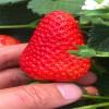 妙香草莓苗 妙香7号草莓苗
