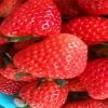 法兰地草莓苗 法兰地草莓苗价格
