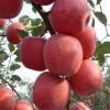 一公分苹果苗价格 三公分苹果苗价格