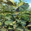 秋月梨树苗供应秋月梨树苗价格成活率高