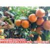 广西沃柑苗多少钱一棵,广西种植沃柑苗结出的果实好吃吗