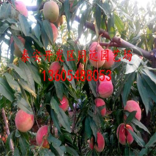 桃树苗批发价格价格2.4元 冠幅15公分胸径0.5公分高度140公分地径0.8