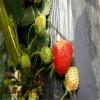哪买一级新品种草莓苗培育基地
