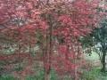 红枫(2)