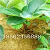 四季草莓苗小苗,甜查理草莓苗经济效益
