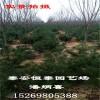 山东白皮松种植基地出售1米、1.2米白皮松 白皮松价格