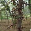 皂角树_皂角树供应_皂角树苗价格_最新皂角树批发