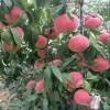 黄金梨树苗供应黄金梨树苗价格成活率高