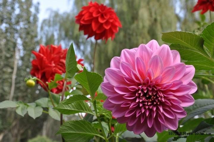 小丽花(学名是Dahlia pinnate cv.)又名小丽菊、小理花,属菊科。大丽花属多年生球根草本植物,具有植株低矮,花期长,是优良的地被植物,也可布置花坛、花境等处,还可盆栽观赏或做切花使用。 小丽花形态与大理菊相似,为大丽花品种中矮生类型品种群,但植株较为矮小,高度仅为20至60厘米,多分枝,头状花序,一个总花梗上可着生数朵花,花茎5至7厘米,花色有深红、紫红、粉红、黄、白等多种颜色,花形富于变化,并有单瓣与重瓣之分,在适宜的环境中一年四季都可开花。具有植株低矮,花期长。小丽花的花期5&mdas