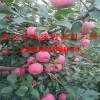 矮化苹果苗一棵多少钱  矮化苹果苗价格
