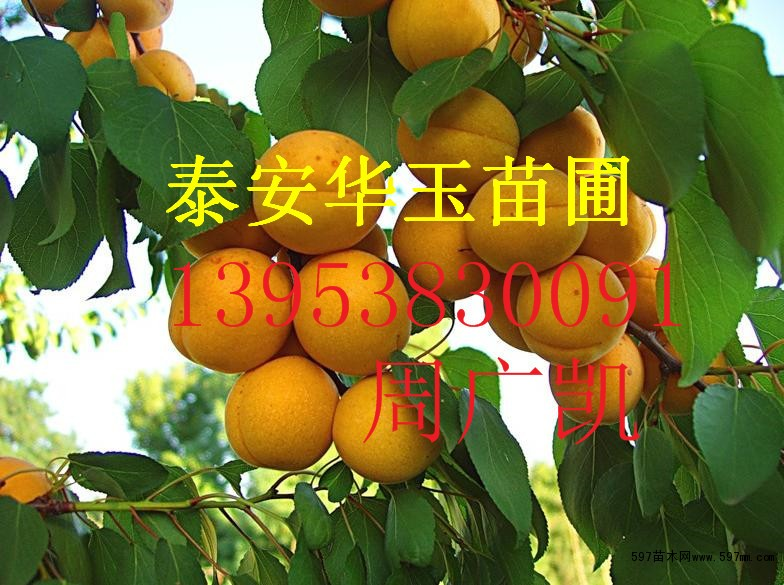仁用杏树苗玉林批发品种 杏树苗价格 杏树苗多少钱