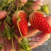 山东甜宝草莓苗哪里?#26032;魘求购广西甜宝草莓苗价格