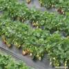 草莓苗品種介紹   紅顏草莓苗基地