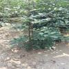 大红袍当年种植花椒苗价格