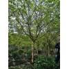 成都紫薇基地紫薇直銷桿直樹型優美低價格