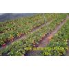 哪里有草莓苗  草莓苗价格  草莓苗新品种