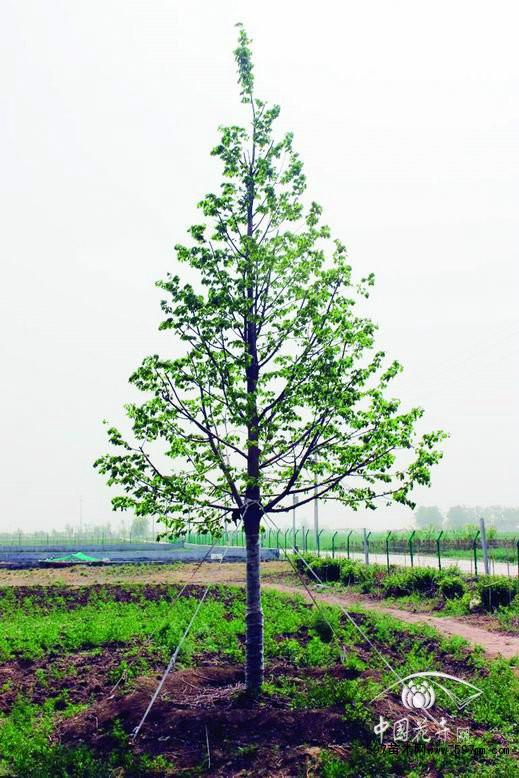 国际树木学会树木规格的六点标准基本