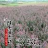 江苏供应红叶小檗批发 紫叶小檗价格照片