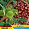 板栗苗品种 板栗苗批发 板栗苗什么品种好 板栗苗供应