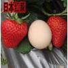 红颜草莓苗价格、红颜草莓苗多少钱一棵