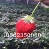 山东草莓苗经济效益,山东草莓苗批发价格