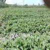 南方草莓苗种植,采摘草莓苗批发