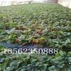 甜宝草莓苗产量,达赛草莓苗小苗