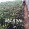 大棚草莓苗小苗,红颜草莓苗小苗