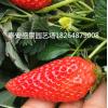 哪里有草莓苗   大棚草莓苗种苗   红颜草莓苗什么价格