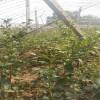 3年蓝莓苗价格  大量 价格公道供应3年蓝莓苗