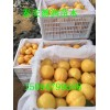 黄金脆黄桃品种介绍 挂果时间长 黄金脆黄桃价格