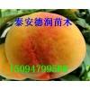 黄金蜜4号黄桃价格 黄金蜜4号黄桃苗品种介绍