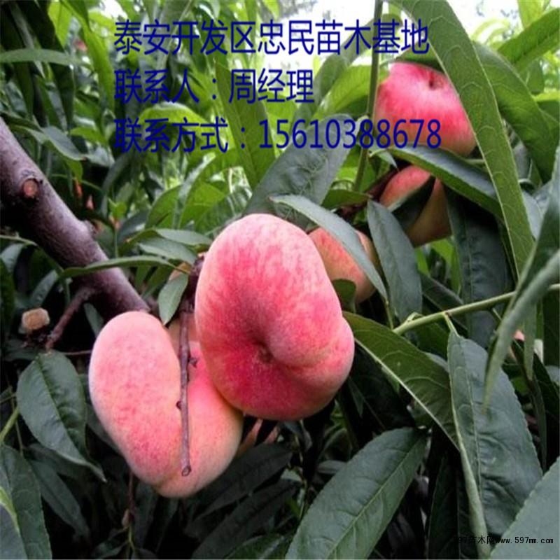 蟠桃桃树苗 蟠桃桃树苗新品种 蟠桃桃树苗价格|果树