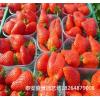2017草莓苗什么行情价格 2017草莓苗2017草莓苗品种