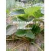 纯种红颜、章姬草莓苗批发供应 草莓苗品种介绍 草莓苗价格