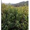 批发杜英小苗##可用于造林¥¥绿化项目¥¥