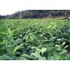 批發深山含笑小苗#造林¥綠化#觀花#觀葉的好品種##