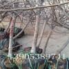 2、3、4公分苹果树出售、4.5公分苹果树苗哪里有