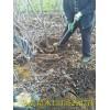那翁樱桃树苗莫利樱桃苗 3公分4公分5公分大樱桃树