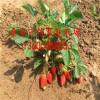 栽植哪个草莓苗品种好  草莓苗多少钱一棵