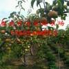 梨树苗品种及价格    梨树苗多少钱一棵