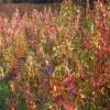 供应绿化苗 五角枫树苗 规格齐全 量大从优