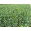 基地供应70公分冬青苗 出售80公分大叶黄杨苗多少钱一棵