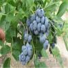 组培蓝莓苗基地 北陆蓝莓苗种植技术
